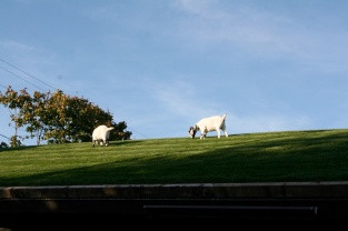 Goats grazing on top of roof.